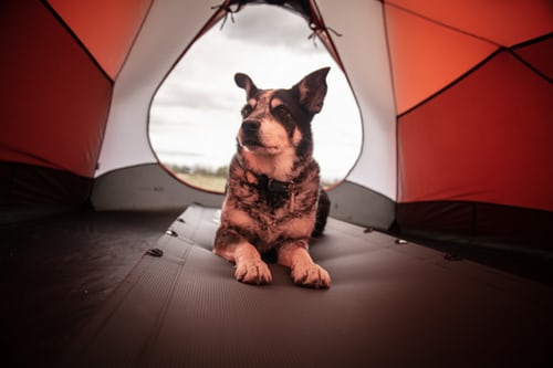 Australian cattle dog lying in a red and grey tent