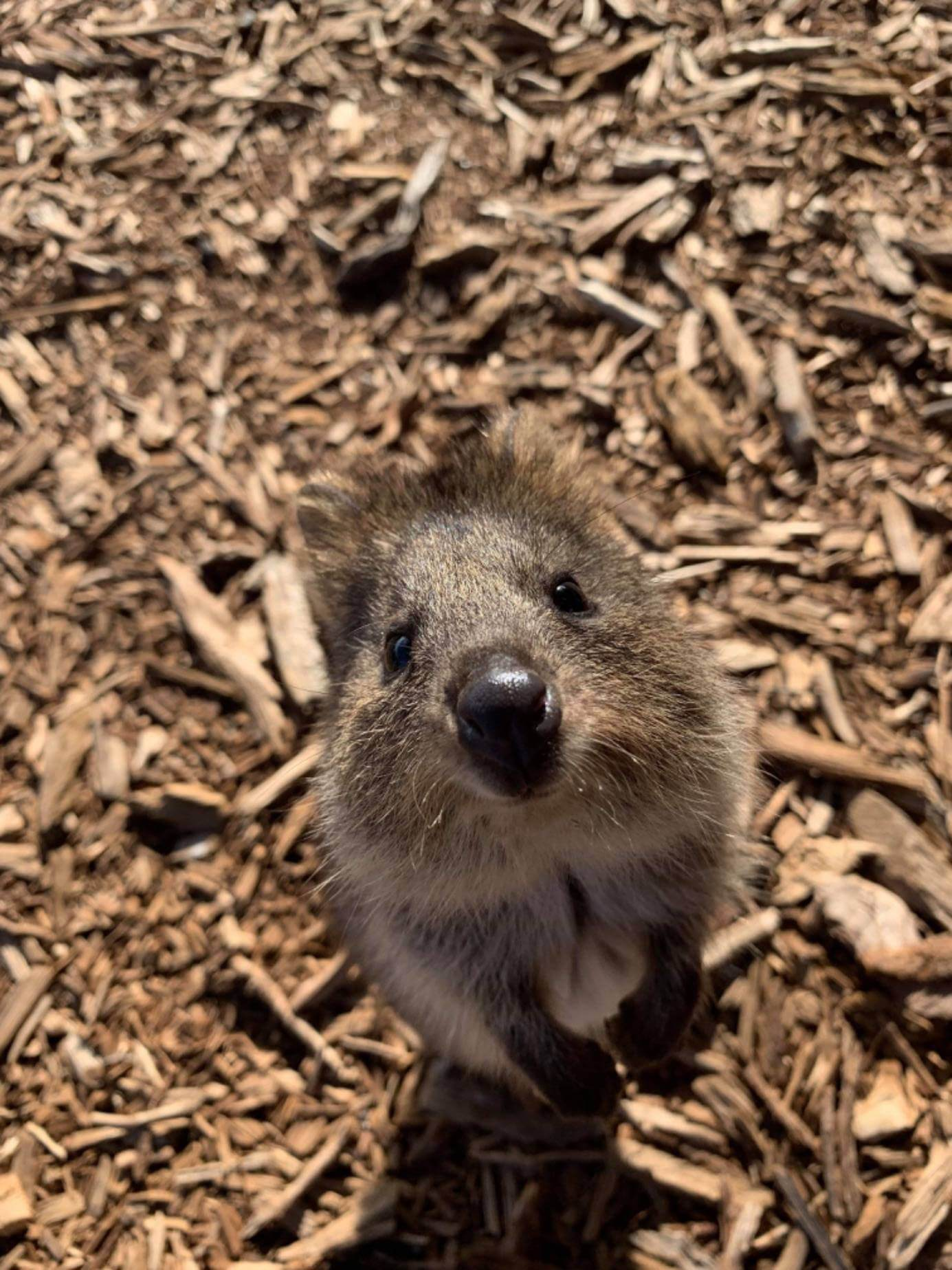 Wild Australian animal (Quokka) looking up at the camera.